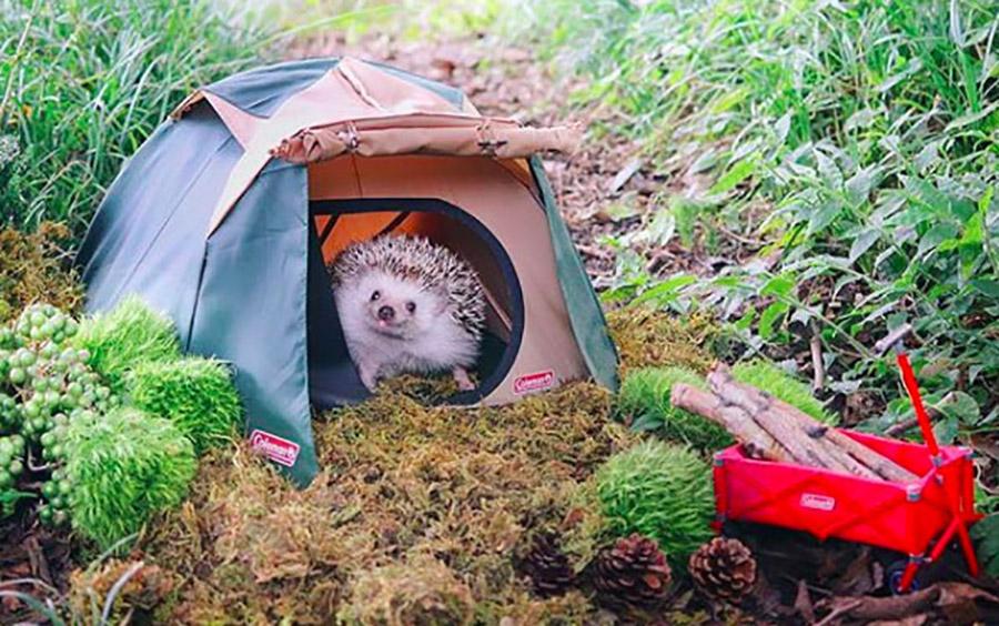 CC 3.77 - SUJETS Azuki-le-herisson-trop-mignon-qui-fait-du-camping